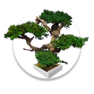 Карликовые деревья БОНСАЙ